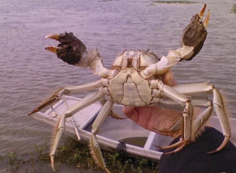 2014年陽澄湖大閘蟹出口歐盟的標準