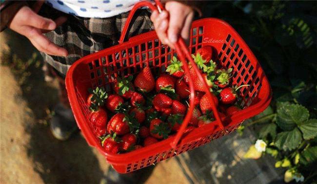 摘草莓2_副本.jpg